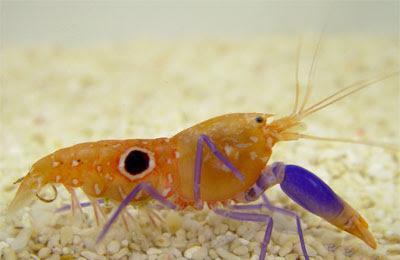 pistol.shrimp.image.jan.2017