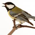 jabra.blog.bird-sounds